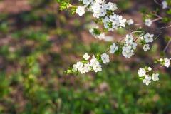 Kersenbloesems en bloemen in April of Mei stock foto's
