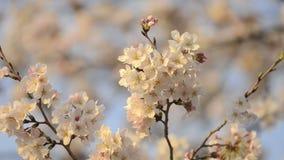 Kersenbloesems, in het Park van Showa Kinen, Tokyo, Japan stock videobeelden