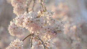 Kersenbloesems, in het Park van Showa Kinen, Tokyo, Japan stock video
