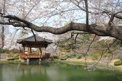 kersenbloesems in Korea Royalty-vrije Stock Afbeeldingen