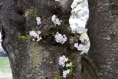 Kersenbloesems op boomboomstam royalty-vrije stock afbeeldingen