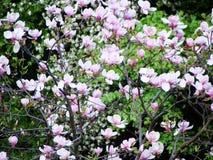 Kersenbloesems op de achtergrond van de tuinlente royalty-vrije stock afbeeldingen