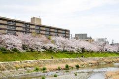 Kersenbloesems op de Bank langs Takano-Rivier, Kyoto, Japan Stock Foto's