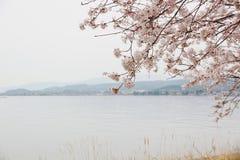 Kersenbloesems op de meer zijweg stock afbeelding
