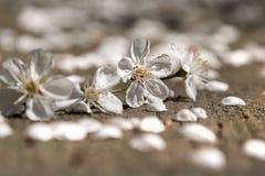Kersenbloesems over vage aard achtergrond de Lentebloemen Royalty-vrije Stock Afbeelding