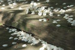 Kersenbloesems over vage aard achtergrond de Lentebloemen Royalty-vrije Stock Foto's