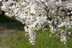 Kersenbloesems in volledige bloei, in park Stock Foto's