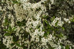 Kersenbloesems, witte bloem royalty-vrije stock foto