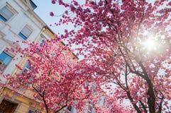 Kersenbomen in de oude stad van Bonn, Duitsland royalty-vrije stock afbeelding