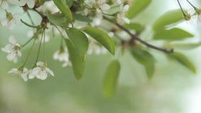 Kersenbomen die in de lente bloeien Het wekken van de aard Fruittuin in bloesem stock footage