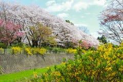 Kersenbomen en kleurrijke bloemen langs het droge kanaal in Showa Kinen KoenShowa Memorial Park, Tachikawa, Tokyo, Japan in de le Royalty-vrije Stock Foto