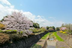 Kersenbomen langs het droge kanaal in Showa Kinen KoenShowa Memorial Park, Tachikawa, Tokyo, Japan in de lente Stock Fotografie