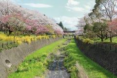 Kersenbomen langs het droge kanaal in Showa Kinen KoenShowa Memorial Park, Tachikawa, Tokyo, Japan in de lente Stock Foto's
