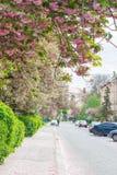 Kersenbomen tijdens de het bloeien periode op een stadsstraat Stock Foto's
