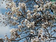 Kersenboom Royalty-vrije Stock Afbeeldingen