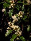 Kersenboom in bloei Royalty-vrije Stock Afbeeldingen