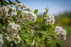 Kersenboom in blossowm Royalty-vrije Stock Afbeeldingen