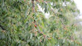 Kersenboom in de regen stock video