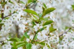 Kersenboom in de tuin Royalty-vrije Stock Afbeelding