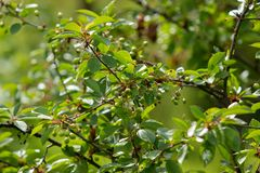 Kersenboom in het begin van de zomer met onrijpe bessen op de boom Groene kersenbessen en groene bladeren royalty-vrije stock afbeelding