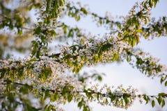 Kersenboom het tot bloei komen Stock Foto