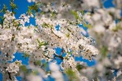 Kersenboom met de lentebloesem Stock Afbeeldingen