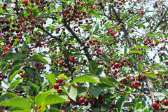 Kersenboom met rijpe bessen royalty-vrije stock foto's