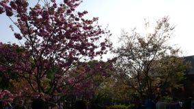 Kersenboom in roze bloesem bij zonsondergang, Tokyo, Japan stock footage
