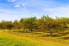 Kersenboomgaard stock afbeelding