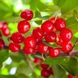 Kersenfruit het hangen op de boom stock fotografie