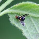 Kersenfruitvlieg, Rhagoletis-cerasi, belangrijk ongedierte van kersengewassen royalty-vrije stock foto