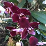 Kersenorchidee Royalty-vrije Stock Foto's