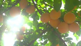 Kersenpruimen van gele kleur stock videobeelden