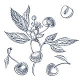 Kersenreeks Hand getrokken die bes op witte achtergrond wordt geïsoleerd Illustratie van de de zomer de fruit gegraveerde vectors vector illustratie