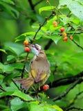 Kersenrood, muis om het fruit van de vogelkers te ontwijken royalty-vrije stock fotografie