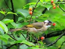 Kersenrood, muis om het fruit van de vogelkers te ontwijken stock foto
