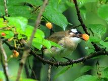 Kersenrood, muis om het fruit van de vogelkers te ontwijken royalty-vrije stock afbeeldingen