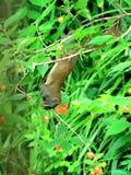 Kersenrood, muis om het fruit van de vogelkers te ontwijken stock fotografie