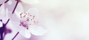 Kersentak in bloesem Royalty-vrije Stock Afbeeldingen