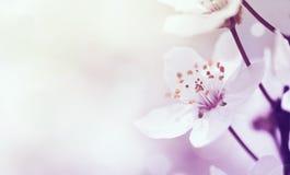 Kersentak in bloesem Stock Foto