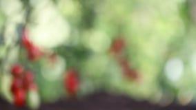 Kersentomatenplanten in moestuin, nadruk en onduidelijk beeld stock videobeelden