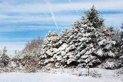 Kerstbomen in sneeuw Stock Afbeeldingen
