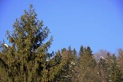 Kerstbomen tegen de blauwe hemel stock afbeelding