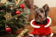 Kerstboom en puppy Yorkie Royalty-vrije Stock Afbeeldingen