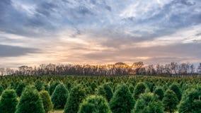 Kerstboomlandbouwbedrijf bij zonsondergang Stock Foto