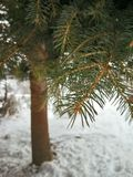 Kerstboomtak in macro Stock Fotografie