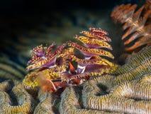 Kerstboomworm op Brain Coral Royalty-vrije Stock Afbeelding