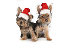 Kerstmis Als thema gehad Yorkshire Terriers op Wit Royalty-vrije Stock Foto's