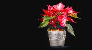 Kerstmis Eve Flower op zwarte achtergrond Stock Afbeeldingen