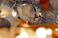 Kerstmis het gloeien kat Royalty-vrije Stock Foto